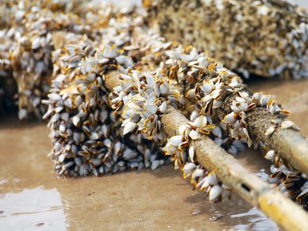 Cracas de ganso na madeira serrada