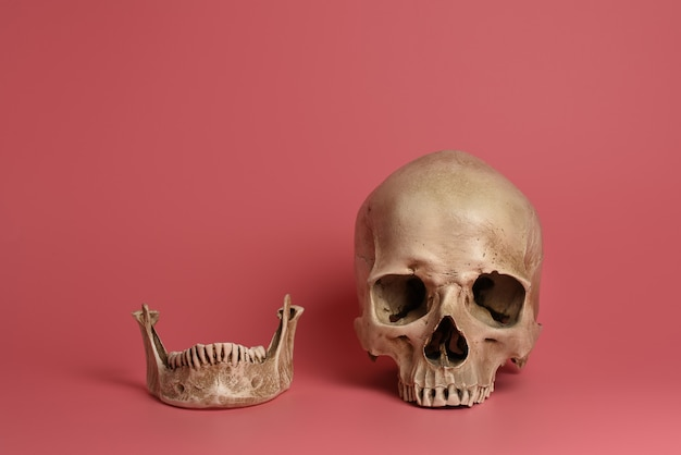 Crânio com mandíbula em fundo rosa