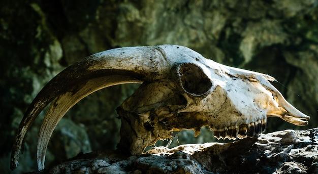 Crânio de cabra seca com grandes chifres em uma pedra, com os raios do sol batendo na testa.
