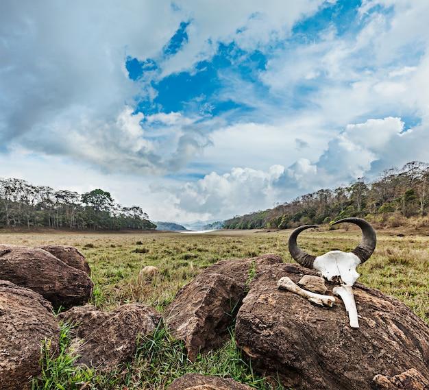 Crânio de gaur (bisonte indiano) com chifres e ossos