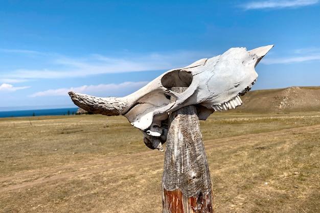 Crânio de vaca em pau de madeira