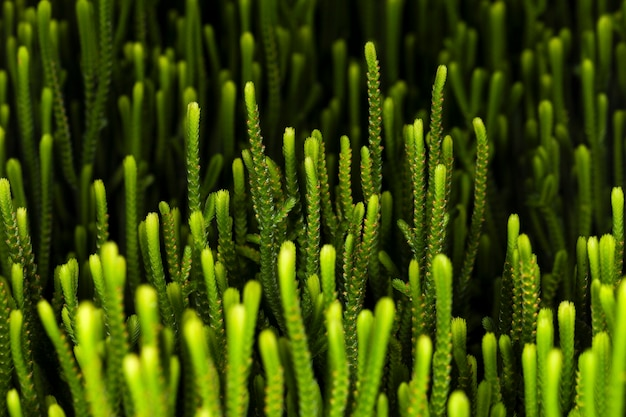 Crassula muscosa succulent