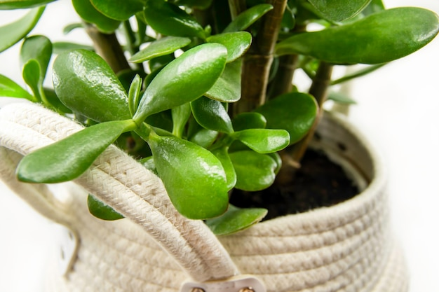 Crassula ovata em vaso ou planta caseira de pigmyweeds isolada no fundo branco