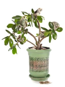 Crassula planta em vaso com notas de dólar em forma de flor isolada no branco. esta planta é conhecida por ser um símbolo de feng-shui da sorte de grande riqueza (ou árvore do dólar)