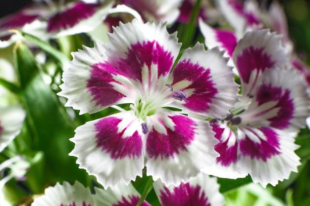 Cravina dianthus chinensis flores