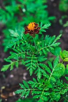 Cravos-de-defunto bonitos crescem entre a vegetação