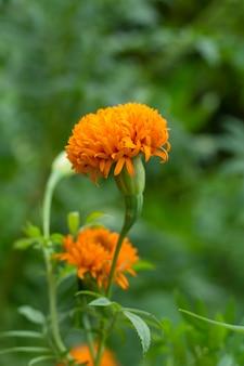 Cravos-de-defunto franceses, flor alaranjada dos cravos-de-defunto