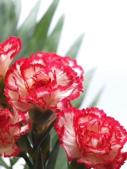 Cravos de flores