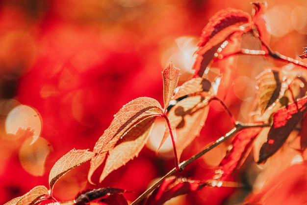 Creeper colorido de virgínia do outono, uva selvagem com gotas da água no fim do nascer do sol acima.