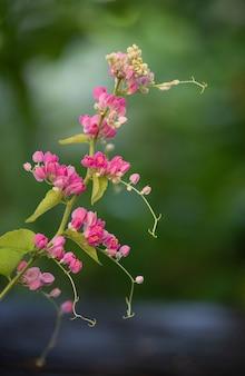 Creeper mexicano ou flores de ramo de leptopus antigonon na superfície da natureza.