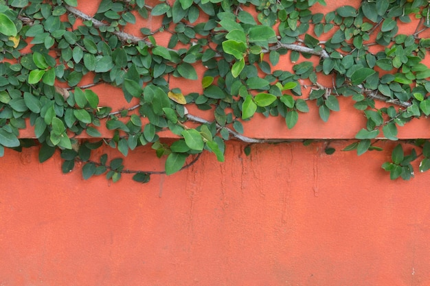 Creeper verde na parede de concreto laranja