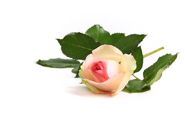 Creme delicado rosa em um fundo branco