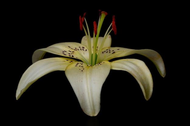 Creme elegante ou close-up de lírio branco (lírio em forma de lança) em um fundo preto escuro. uma foto minimalista para um pôster.
