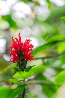 Crepe de gengibre, planta nativa do sudeste da ásia