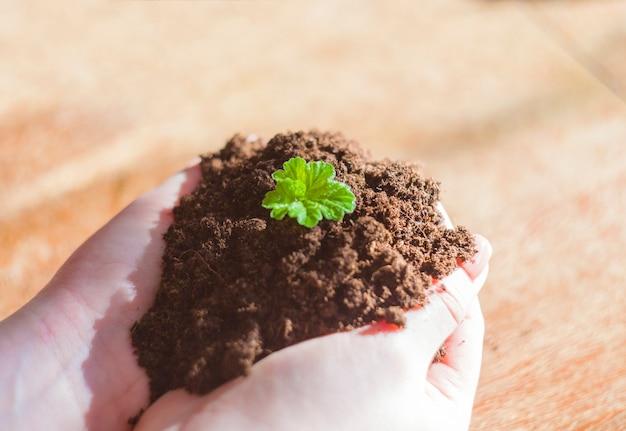 Cresça a colheita orgânica. plantando cebolas.