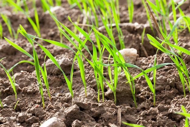 Crescendo em campos de solo aberto, brotos verdes de trigo, plantas jovens na primavera