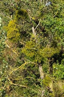 Crescendo em galhos de árvores, um parasita do visco que bebe sucos de árvores, close-up na floresta