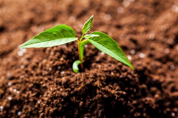 Crescendo jovem brotos de mudas de milho verde no campo agrícola agrícola cultivada