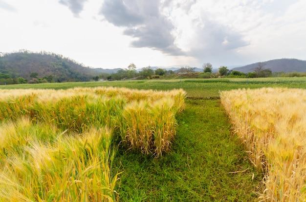Crescimento de cevada no campo agrícola