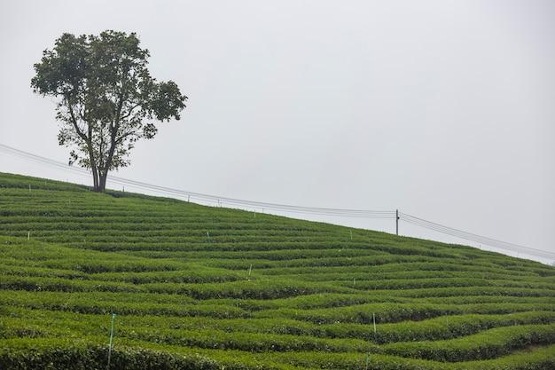 Crescimento de chá fresco na fazenda de chá, fundo de plantação de chá