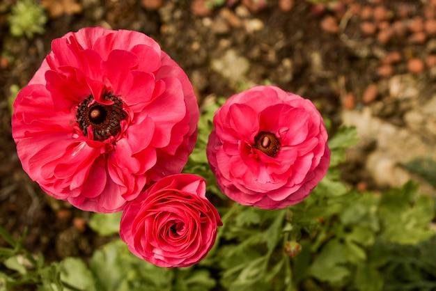 Crescimento de flores cor-de-rosa do ranúnculo no jardim em um dia ensolarado. flor de fucsia closeup.