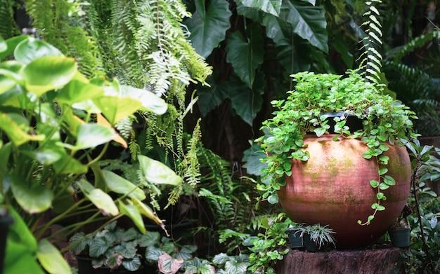 Crescimento de hortelã fresca na decoração de panela de barro vermelho no jardim tropical.