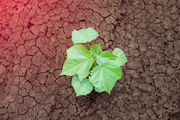 Crescimento de plantas de algodão pequeno