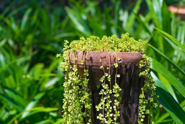 Crescimento de plantas de videira pequena em vaso ou vaso de barro