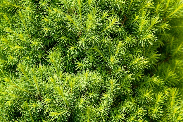 Crescimento de primavera de jovem abeto canadense, fundo de textura de coníferas natural. desfoque o foco seletivo.