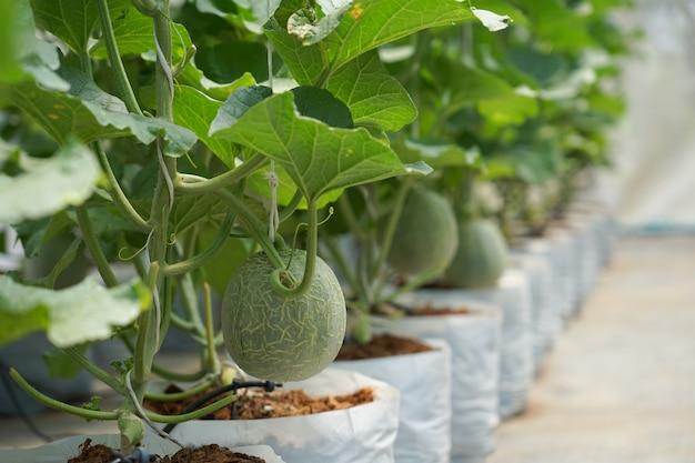 Crescimento orgânico de frutas de melão do bebê na fazenda com efeito de estufa boa nutrição e vitaminas