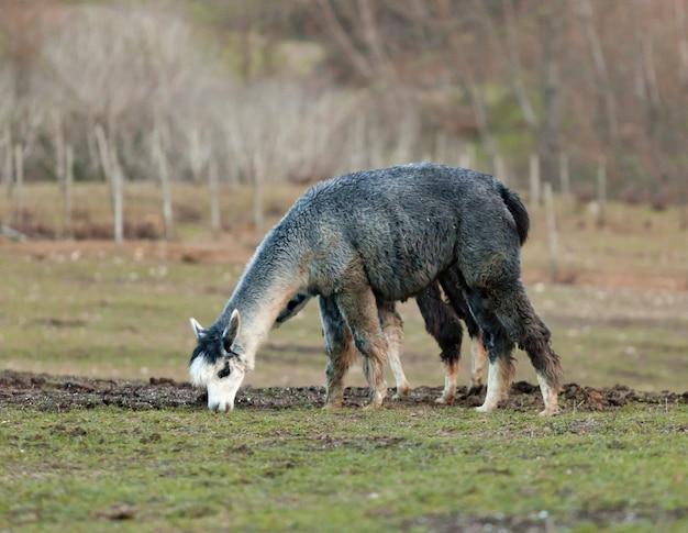Criação de alpacas na toscana.