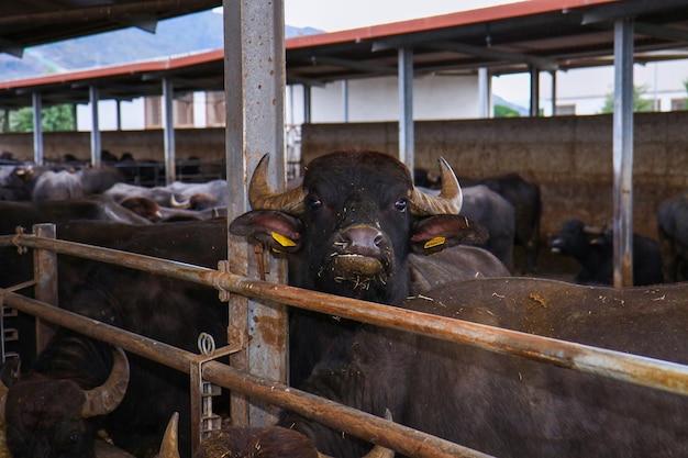 Criação de bufale campane no sul da itália usada para a produção de leite