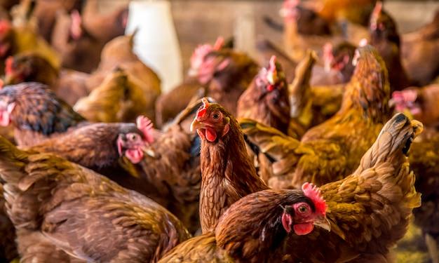 Criação de frango animal de fazenda