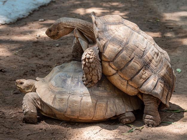 Criação de tartarugas da ásia durante o dia
