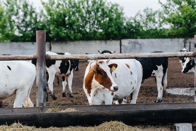 Criação de vacas para produção de leite em uma fazenda industrial. fazenda agrícola industrial
