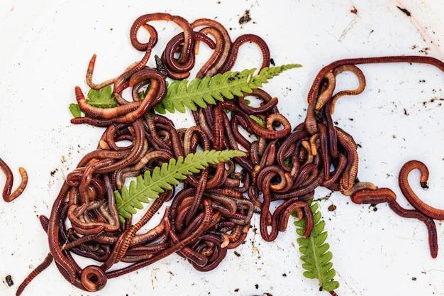 Criação de vermes vermelhos dendrobena. solo fértil. melhoramento natural do solo. minhocas de pesca.
