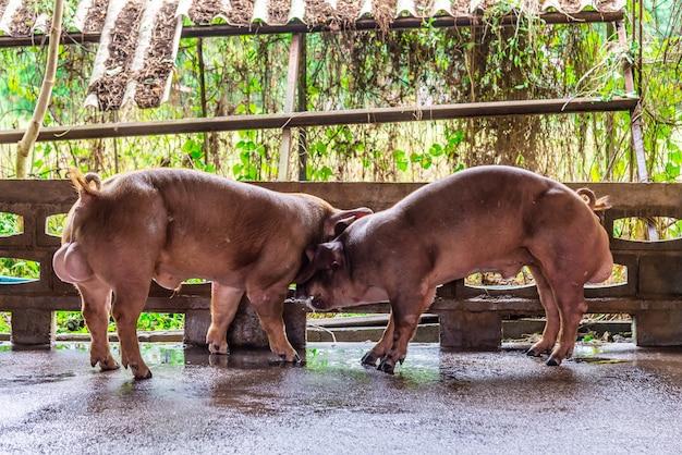 Criador de porcos vermelhos em uma fazenda