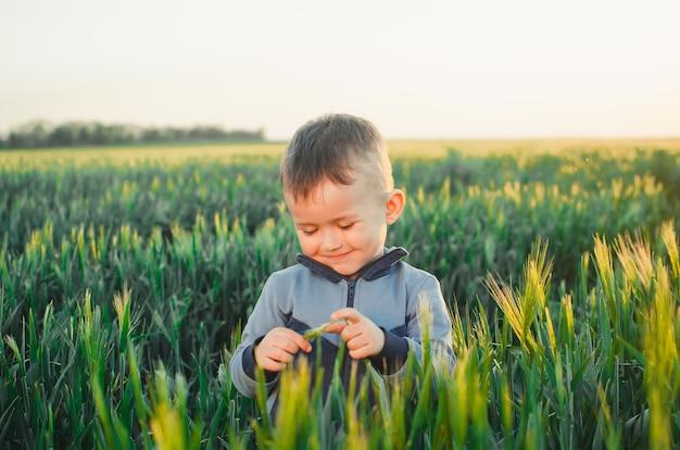 Criança ao pôr do sol em um campo de espigas verdes, colher pão