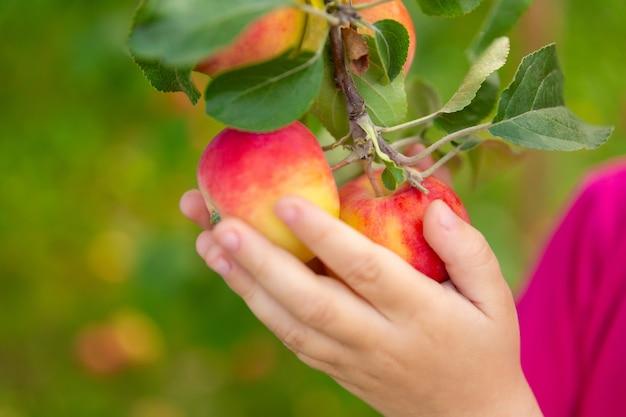 Criança com maçãs penduradas em um galho de árvore nas mãos. colheita em um pomar.