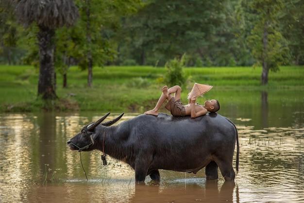 Criança dormindo no búfalo de água no campo de arroz.