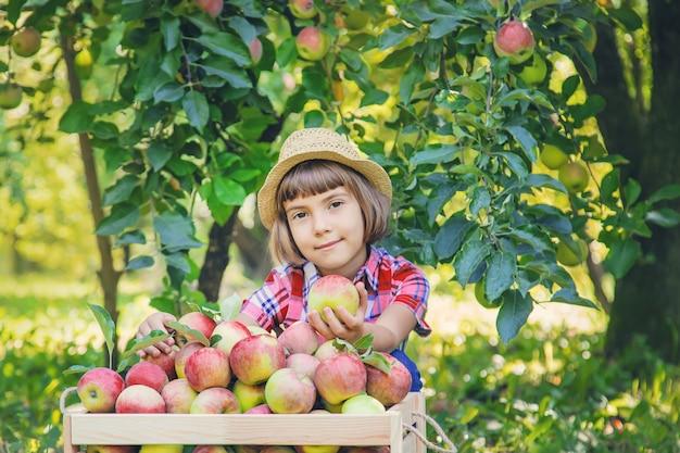 Criança pega maçãs no jardim no jardim.