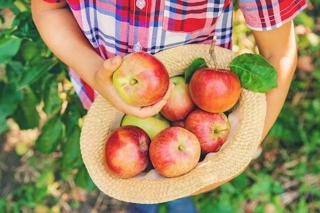 Criança pega maçãs no jardim no jardim