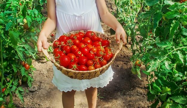 Criança recolhe uma colheita de tomates caseiros. foco seletivo.