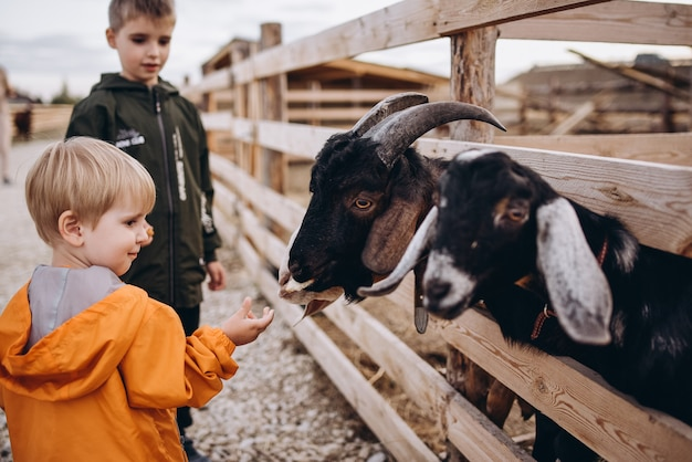 Crianças alimentam as cabras na fazenda