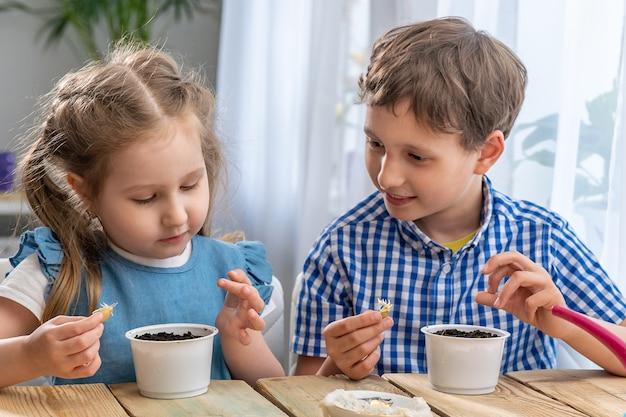 Crianças, menino e menina, seguram e examinam uma semente de abóbora germinada