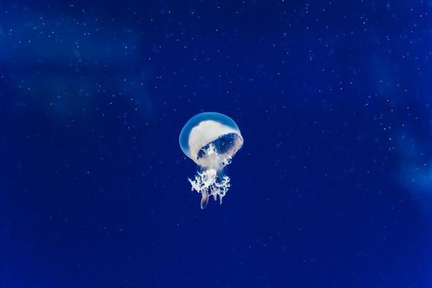Criaturas marinhas, medusozoa, água-viva com corpo gelatinoso e formato de sino.