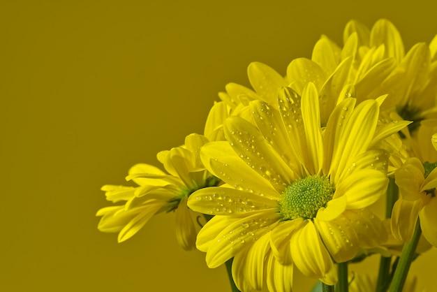 Crisântemo amarelo fresco bonito, close-up tiro, margaridas amarelas flores isoladas