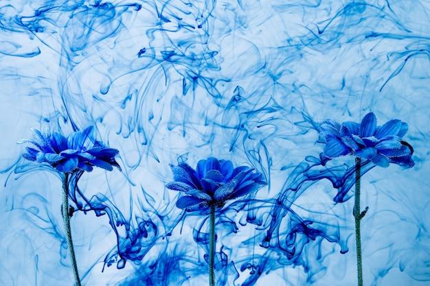Crisântemo azul dentro de água fundo branco flores aster sob tintas índigo fumaça vapor borrão