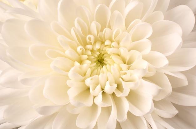 Crisântemo branco closeup