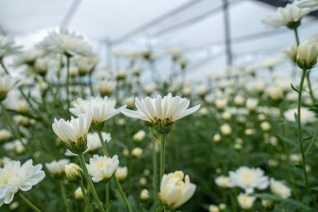 Crisântemo das flores brancas no jardim crescido para a venda e para visitar.